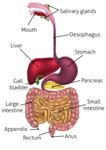 Digestion tract
